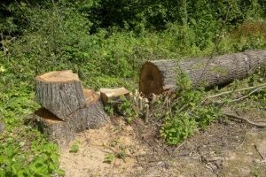 разрубленное дерево
